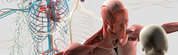 Anatomy graphic